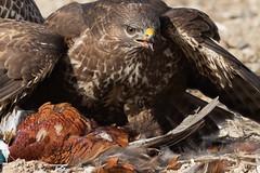 Buzzard feeding Oct 2018 (jgsnow) Tags: purple bird raptor buzzard feeding