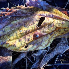 IMG_0819 (LooknFeel) Tags: takenwithiphone iphone6 20181118 • leave leaves holes frost winter