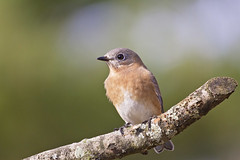 lady blue up close (G_Anderson) Tags: missouri yard birds birding backyard winter urban
