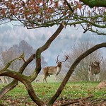 Deer at Chatsworth Estate thumbnail