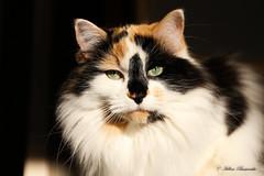 IMG_2240-1 (Helene Bassaraba) Tags: coth coth5 bestofcats catmoments