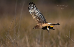 Northern Harrier & Frog. (stephenwalshphoto) Tags: