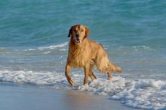 Surfer dude (ucumari photography) Tags: ucumariphotography miami florida fl december 2018 dog canine animal mammal southbeach beach dsc4291