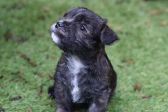 ONe (3) (AlmostHome_Dog) Tags: almost home dog rescue north wales puppy puppies pup pups westie yorkie west highland terrier yorkshire