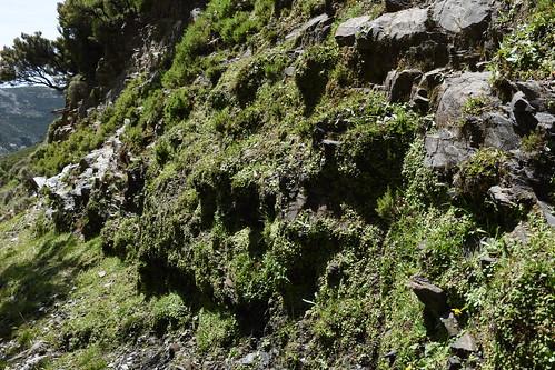 Sibthorpia europaea habitat
