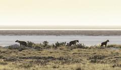 Spotted Hyena den on the edge of the Etosha pan. Etosha, Namibia. (sfrancis23) Tags: spottedhyena den etoshapan etosha namibia nikon 400mm28fl earlymorning backlight sun saltpan savannah grassland tc14iii animal wildlife africa safari d850 nikond850