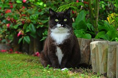 Tussi in her garden (vanstaffs) Tags: tussi tuzz tuxedocat t tux tusse tutu tuzz® myprettyliltuxedogirl