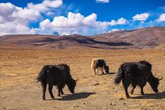 Yaks grazing in Tibet plateau (CamelKW) Tags: tibet2018 yaks grazing tibetplateau shigatse tibet china cn
