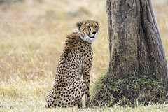 Big Cats on the Mara (johnrobjones) Tags: beyond animal animals cnp cnpsafaris kenya kichwatemba mara masai masaimara safari africa mammals nature wildlife cheetah male cat