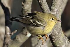 Blackpoll Warbler (Setophaga striata) 11-03-2018 Ocean City--Sunset Park, Worcester Co. MD 5 (Birder20714) Tags: birds maryland warblers parulidae setophaga striata