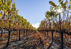 fenestra winery (pbo31) Tags: bayarea eastbay alamedacounty livermore winery vineyards wine farm country november 2018 nikon d810 color boury pbo31 pleasanton orange grapes season row field dirt