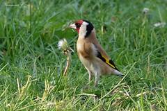 Chardonneret élégant (Carduelis carduelis) (Ezzo33) Tags: chardonneret élégant carduelis france gironde nouvelleaquitaine bordeaux ezzo33 nammour ezzat sony rx10m3 parc jardin oiseau oiseaux bird birds specanimal