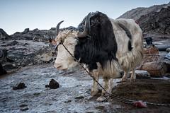 Frosty yak at Jichu Dramo camp - Wangdue Phodrang district - Snowman Trek - Bhutan (PascalBo) Tags: nikon d500 asie asia southasia asiedusud drukyul drukgyalkhap bhutan bhoutan འབྲུག་ཡུལ། འབྲུག་རྒྱལ་ཁབ་ snowman trek trekking hike hiking lunana wangduephodrang himalaya himalayas mountain montagne sky ciel bivouac camp campement expedition yak yack animal outdoor outdoors pascalboegli