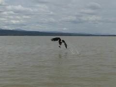 Fishing fish eagle (17) (Linda DV) Tags: lindadevolder africa 2018 lumix travel geotagged nature kenya fauna baringo lake
