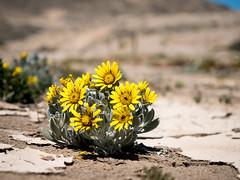 P1118197-LR (carlo) Tags: panasonic g9 dmcg9 africa africanlandscape namibia diamondcoast costadeidiamanti flowers fiori deserflowers
