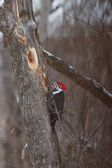 Backyard Pileated Woodpecker (Laura Erickson) Tags: stlouiscounty picidae piciformes birds duluth peabodystreet places species pileatedwoodpecker minnesota dryocopuspileatus