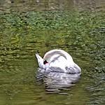 Stratford Ontario ~ Canada ~ Victoria Lake ~ Avon River Swan thumbnail
