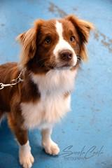 DSC_0100-1 (ScootaCoota Photography) Tags: dog pet animal expo showgrounds 2018 outdoors indoors nikon photo photography perth wa australia border collie