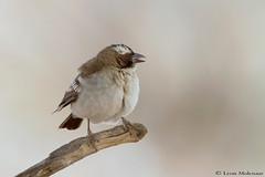 White-browed Sparrow-Weaver (leendert3) Tags: leonmolenaar southafrica kgalagaditransfrontierpark wildlife nature birds whitebrowedsparrowweaver ngc npc