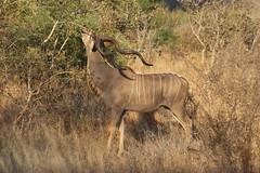 Kudu (Rckr88) Tags: krugernationalpark southafrica kruger national park south africa kudu kudus animals animal antelope nature outdoors wildlife horn horns