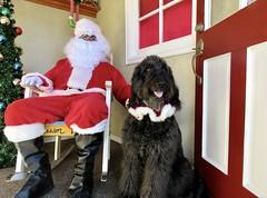 """I got to meet Santa Paws!""  by Benni (Bennilover) Tags: benni bennigirl christmas santa santaclaus event 52weeksfordogs fun dog dogs labradoodle"