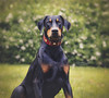 Looking handsome in red.. (Riley-Dobe) Tags: riley doberman dog grass green d500 70200