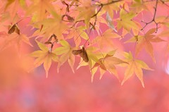 yellow & pink (snowshoe hare*) Tags: dsc0530 kyoto shinnyodotemple autumn fall japanesemaple 紅葉 もみじ 真如堂 京都 autumnfoliage fallfoliage