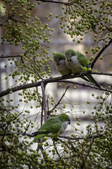Vecinas (MarianDiazRAM) Tags: aves cotorraargentina madrid nikond5100 otoño urbanbird