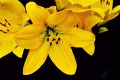 Yellow Lily!! (SHAN DUTTA) Tags: yellow lily spring flora nikon nikond5200 2017 flower