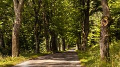 Avenue (L I C H T B I L D E R) Tags: poland polen polska road avenue allee masuria mazury mazuria masuren fuleda treelinedroad alley trees bäume alleebäume alameda kamionki ermland ermlandmasuren holz landstrase pfad wald baum gras