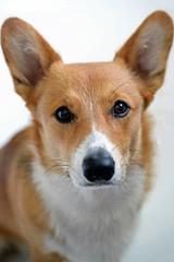 Corgi (geraldineh.dutilly) Tags: corgi dog pets cute family