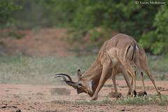 Just Testing (leendert3) Tags: leonmolenaar southafrica krugernationalpark wildlife nature mammals impalaantelope ngc npc