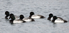 _V6A8936 (Tom Wilberding) Tags: greaterscaup
