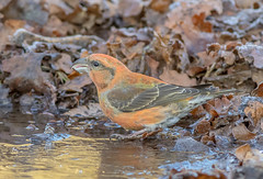 DSC2506  Crossbill... (Jeff Lack Wildlife&Nature) Tags: crossbill crossbills birds avian animal animals wildlife wildbirds woodlands wildlifephotography jefflackphotography forest finches finch pines pineforest trees countryside nature