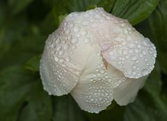 Flower in the Rain (photoeclectia1) Tags: flower rose rain raindrops