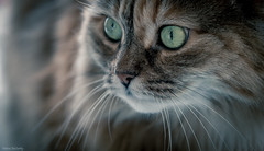 Bella (Melissa M McCarthy) Tags: cat kitty pet animal portrait closeup pretty green eyes cute feline rescue longhaired face sigma105mmmacro canon7dmarkii
