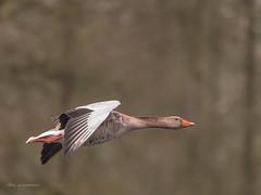 Graugans.... (wernerlohmanns) Tags: wildlife wasservögel natur nikond750 nabu outdoor deutschland nsg schärfentiefe sigma150600c gänsevögel graugänse