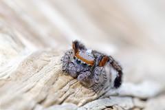 Salticidae (fredMin) Tags: macro insect close up beauty eyes spider salticidae fujifilm xt1 tamron 90 tube