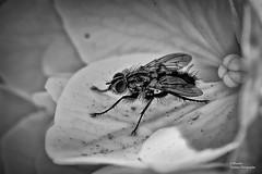 Mosca (Abariltur) Tags: abariltur castellón spain nikond90 afsvrmicronikkor105mmf28gifed macro muscadomestica mosca housefly arthropoda diptera muscidae musca whitehydrangea hotensiablanca benicássim castellódelaplana