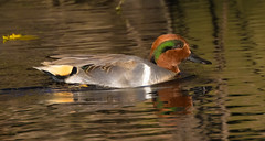Green-winged Teal (vischerferry) Tags: duck waterfowl eriecanal newyorkstate anascrecca reflections greenwingedteal teal