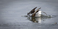 Long Tailed Duck 2018 (John Hoadley) Tags: longtailedduck lasallemarina burlington ontario 2019 janusry canon 7dmarkii 100400ii f63 iso500 duck bird