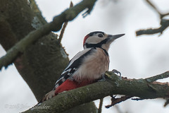 Great Spotted Woodpecker (Johnchess) Tags: richmondpark fridaybirdgroup 18january2019