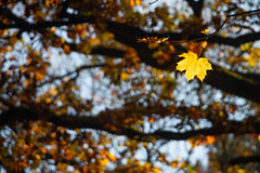 Do it your Way ! (Aphélie) Tags: leaves fall autumn tree gold orange