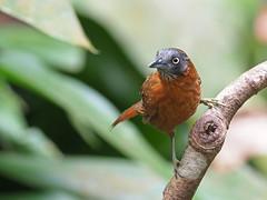 Grey-headed Babbler (ChongBT) Tags: nature natural wild life wildlife animal bird avian watching birdwatching ornithology malaysia olympus grey headed babbler stachyris poliocephala