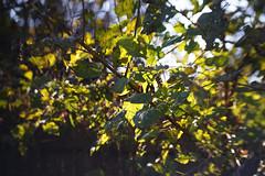 DSC09733 (Lens Lab) Tags: sony a7r achromat 100mm plants garden trees leaves
