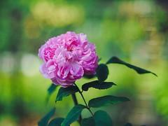 Rosette blooming (Kito K (fxkito2)) Tags: japan tokyo autumn macro flower omd rose bokeh nature closeup lumix fineart olympus blooming color dof