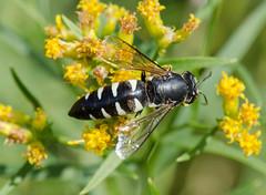 Wasp 10 (Christa R.) Tags: wasp creativecommons freephotos insects hymenoptera arthropoda