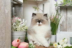 Cute Kitten Pics (dollfacepersiankittens.com) Tags: himalayan himalayans himmy himi cat cats catsofinstagram catpictures caturday catstagram kittens felines animals pets