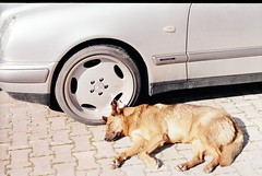old fellow (umutace) Tags: kodak gold proimage 200 50mm dogs reuvenon istanbul
