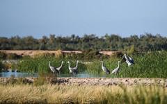 sandhill cranes (nad val) Tags: sonnybonosaltonseanationalwildliferefuge sandhillcranes antigonecanadensis